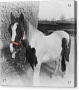 Gypsy Horse Acrylic Print