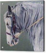 Gypsy Cob Mare-milltown Fair Acrylic Print