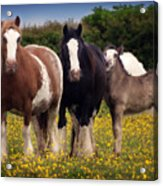 Gypsy Mares And Foal Acrylic Print
