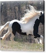 Gypsy Stallion Esperanzo Acrylic Print by Terry Kirkland Cook