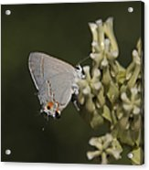 Hairstreak Butterfly Acrylic Print