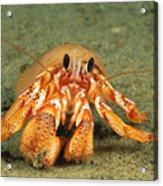 Hairy Hermit Crab Acrylic Print