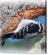 Hairy Woodpecker 2 Acrylic Print