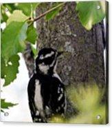 Downy Woodpecker 01 Acrylic Print