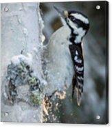 Hairy Woodpecker Female Acrylic Print