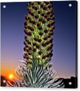 Haleakala National Park Silversword Sunrise Maui Hawaii Acrylic Print