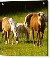 Halflinger Horses Acrylic Print