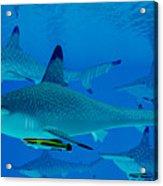 Hammerhead Sharks Acrylic Print