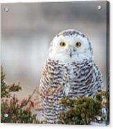 Hampton Beach Nh Snowy Owl Acrylic Print