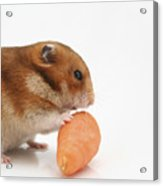 Hamster Eating A Carrot  Acrylic Print