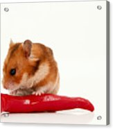 Hamster Eating A Red Hot Pepper Acrylic Print