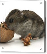 Hamster Eating A Walnut  Acrylic Print
