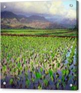 Hanalei Valley Taro Ponds Acrylic Print