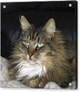 Handsome Cat Acrylic Print