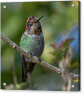 Curly Top Hummer Do Acrylic Print