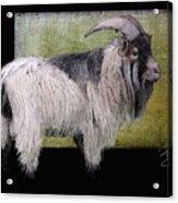 Handsome Pygmy Goat Acrylic Print