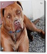Handsome Red Nose Pit Jak Acrylic Print