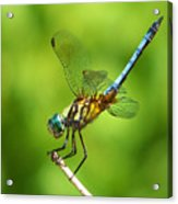 Handstand Dragonfly Acrylic Print by Karen Scovill