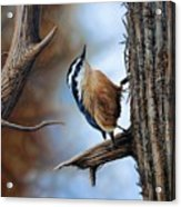 Hangin Out - Nuthatch Acrylic Print