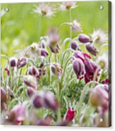 Hanging Blooms Acrylic Print