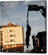 Hanging Bull Acrylic Print