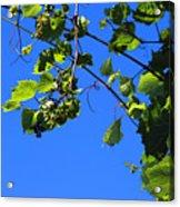Hanging Grapes Acrylic Print
