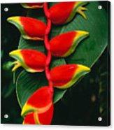 Hanging Heliconia Acrylic Print