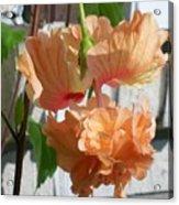 Hanging Hibiscus Acrylic Print