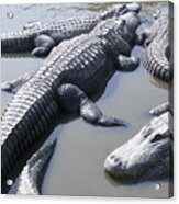 Hanging Out - Alligators North Myrtle Beach Acrylic Print