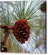 Hanging  Pine Cone Acrylic Print