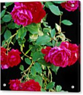 Hanging Roses 2593 Acrylic Print