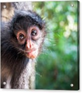 Hanging Spider Monkey Acrylic Print