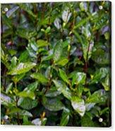 Hangzhou Tea Acrylic Print