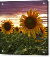 Happiness Is A Field Of Sunflowers Acrylic Print