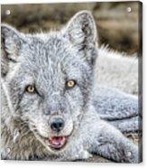 Happy Arctic Fox Acrylic Print