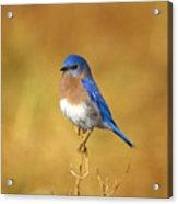 Happy Blue Bird Acrylic Print