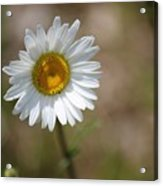 Happy Daisy In The Sun Acrylic Print