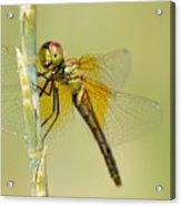 Happy Dragonfly Acrylic Print