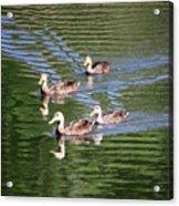 Happy Ducks On The Pond Acrylic Print