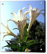 Happy Easter Lilies Acrylic Print