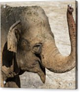Happy Elephant Acrylic Print
