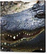 Happy Florida Gator Acrylic Print