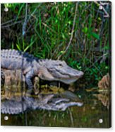 Happy Gator Acrylic Print