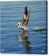 Happy Landing Pelican Acrylic Print