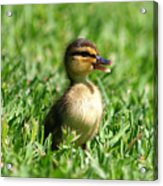 Happy Lil Duck Acrylic Print