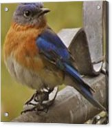 Happy New Year Male Bluebird Acrylic Print