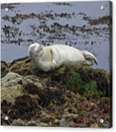 Happy Sea Lion Acrylic Print by Brendan Reals