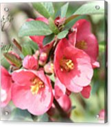 Happy Spring Flowering Quince Card And Poster Acrylic Print