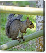 Happy Squirrel Acrylic Print