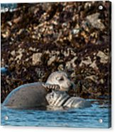 Harbor Seal And Pup Acrylic Print